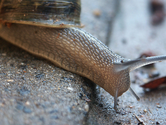 Photo shows a land snail.