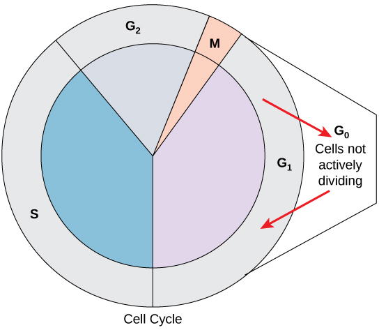 The cell cycle is shown in a circular graphic, with four stages. The S stage accounts for about 40 percent of the cycle. The G2 stage accounts for about 19 percent. Mitosis accounts for 2 percent, and G1 accounts for 39 percent. An arrow is shown exiting the G1 stage that points to the G0 stage outside the circle, in which cells are not actively dividing. Another arrow points from the G0 stage back into the G1 stage, where cells may re-enter the cycle.