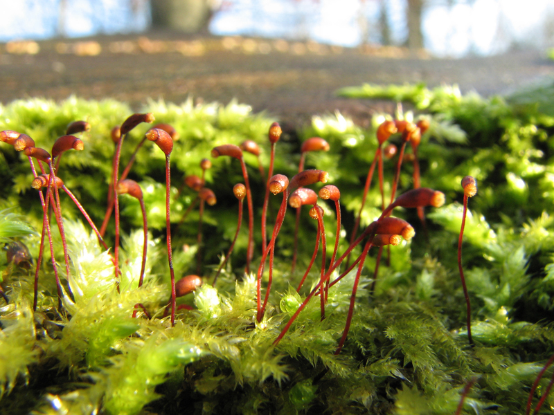 A close-up photo of green, feathery moss with many reddish brown sporophytes growing upwards. Each sporophyte has a goblet-shaped tip.