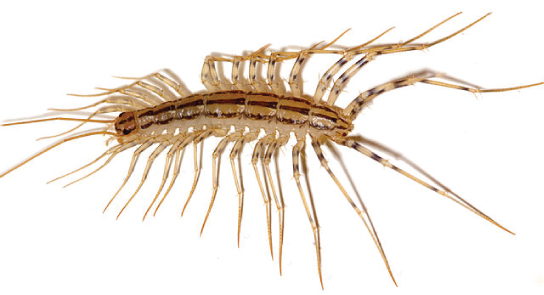 The photo shows a centipede with many, very long legs.