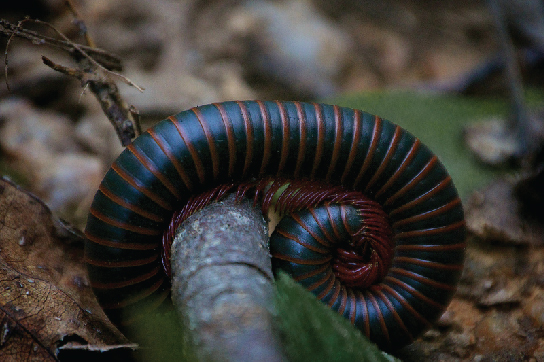 The photo shows a green and brown-striped millipede coiled around itself. It has many little legs.