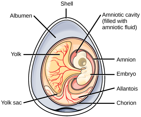 The illustration shows an egg with the shell, embryo, yolk, yolk sac, and the extra-embryonic membranes
