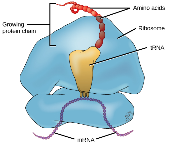 Illustration of the molecules involved in protein translation. A ribosome is shown with mRNA and tRNA. Amino acids are emerging to form a protein chain.