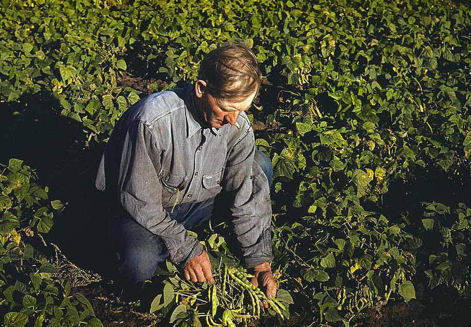 In figure (a) man in jeans and a denim shirt is shown kneeling and picking crops in a field.