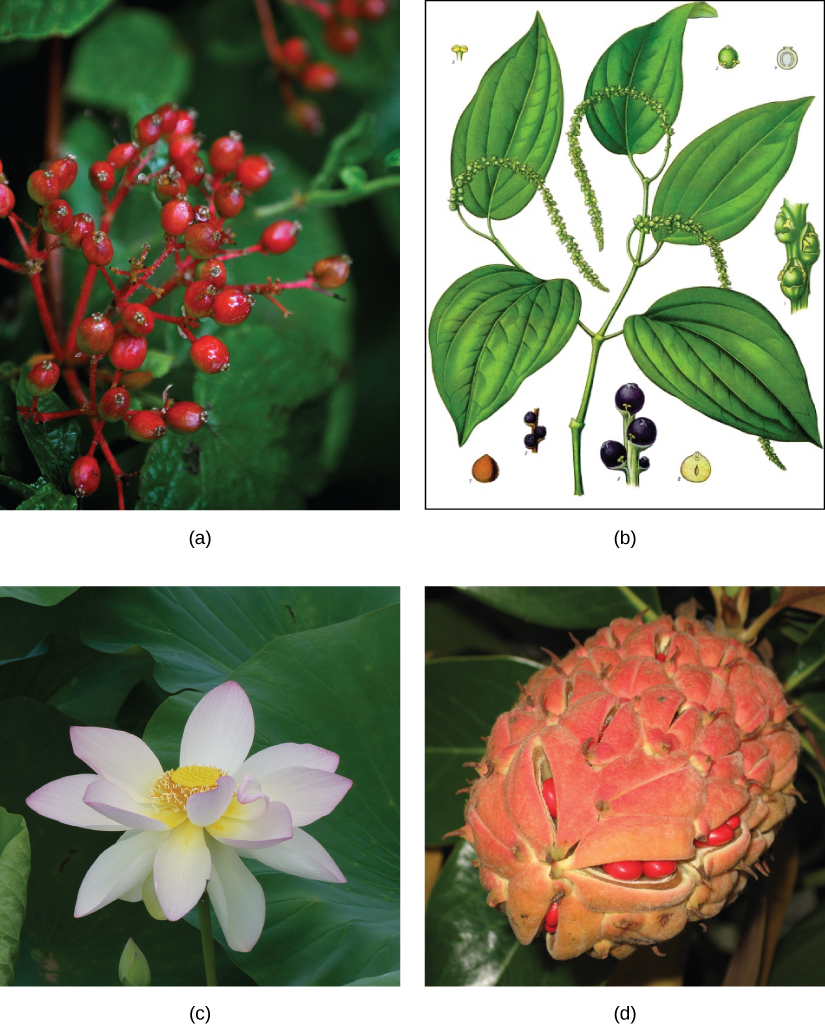 Photo A depicts a southern spicebush plant with bright-red berries growing at the tips of red stems. Illustration B shows a pepper plant with teardrop-shaped leaves and tiny flowers clustered on a long stem. Photo C shows lotus plants with broad, circular leaves and pink flowers growing in water. Photo D shows red magnolia berries clustered in an egg-shaped pink sac.