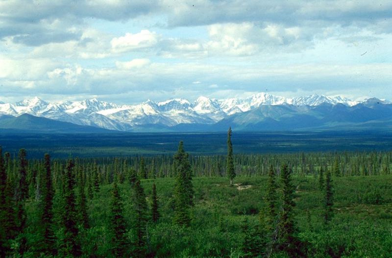 The photo shows a boreal forest with a uniform low layer of plants and tall conifers scattered throughout the landscape. The snowcapped mountains of the Alaska Range are in the background.