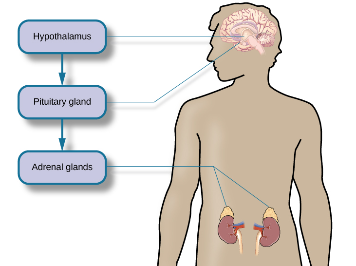 A figure shows an outline of the human body that indicates various parties of the body related to the hypothalamic-pituitary-adrenal axis. The hypothalamus, pituitary gland, and adrenal glands are labeled. There is an arrow from hypothalamus to pituitary gland and another arrow from pituitary gland to adrenal glands. These arrows represent the flow between these organs.