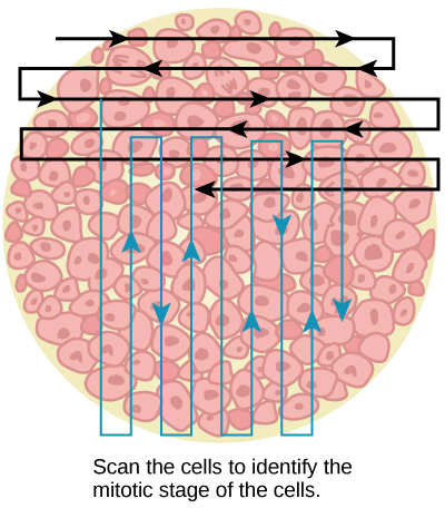 Left: This figure shows an illustration of whitefish blastula cells with a scanning pattern from right to left, and from top to bottom.
