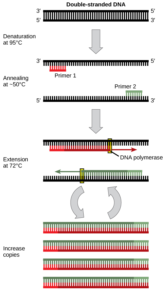 Figure showing PCR in 4 steps. First, the double strand of DNA is denatured at 95 degrees Celsius to separate the strands. The 2 strands are then annealed at approximately 50 degrees Celsius using primers. DNA polymerase then extends the new strands at 72 degrees Celsius. The fourth step shows that this procedure takes place many times, resulting in an increase in copies of the original DNA.