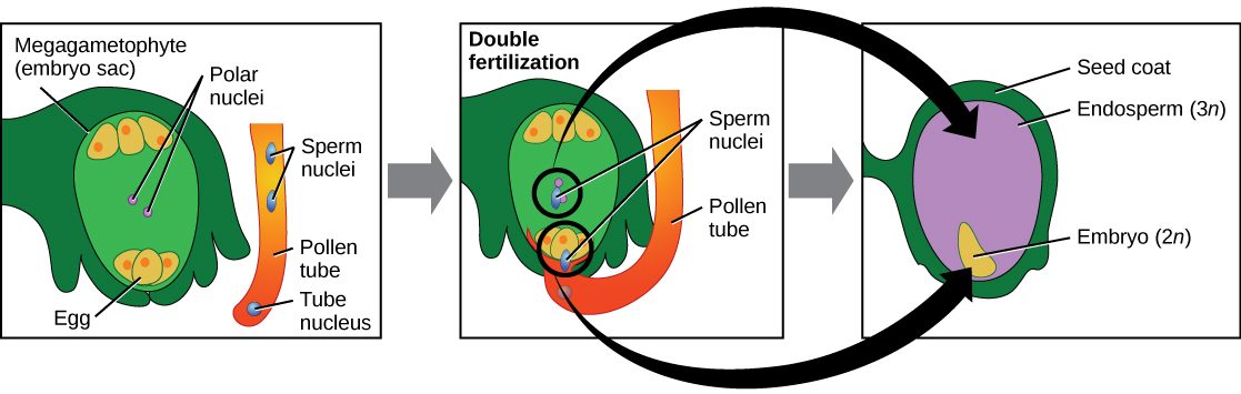 Illustration shows three panels. The first has a megagametophyte (embryo sac) with an egg at the bottom and 2 polar nuclei in the middle of the sac. A pollen tube containing a tube nucleus and 2 sperm nuclei is beside the embryo sac. The second panel shows the pollen tube penetrating the embryo sac and releasing the 2 sperm nuclei into the sac. One sperm nucleus fertilizes the 2 polar nuclei, and one sperm fertilizes the egg. The tube nucleus degenerates. The third panel shows the 2 n embryo developed from the fertilized egg, and the 3 n endosperm developed from the fertilization of the 2 polar nuclei. The seed coat has developed from the tissue surrounding the embryo sac.