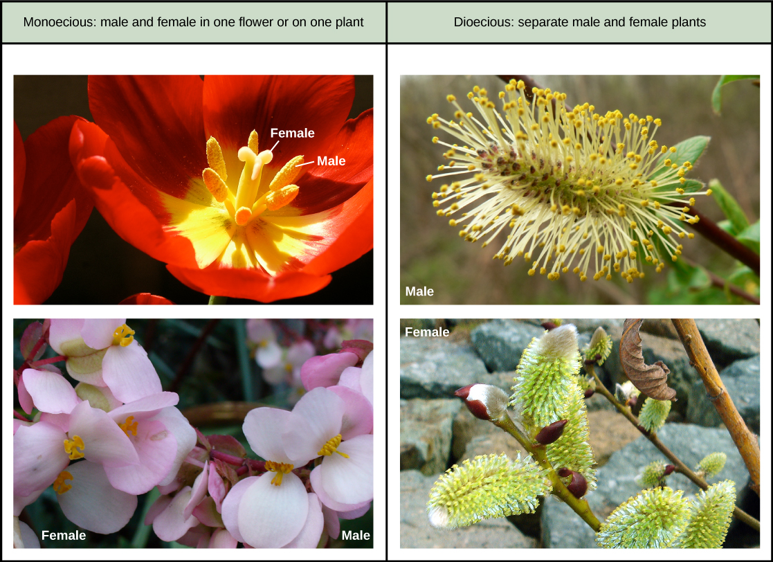 Table with 2 columns. Column on the left has monoecious flowers, column on the right has dioecious flowers. The monoecious flowers are a tulip with male and female structures in one flower, and a begonia plant with male and female flowers on one plant. The dioecious flowers are from 2 separate pussy willow plants, one male and one female.