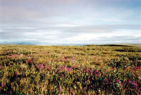 Photo depicts a flat plain covered with shrub. Many of the shrubs are covered in pink flowers.