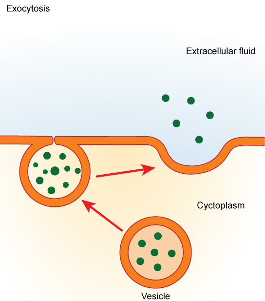 A vesicle containing waste products is shown in the cytoplasm. The vesicle migrates to the cell membrane. The membrane of the vesicle fuses with the cell membrane, and the contents of the vesicle are released to the extracellular fluid.
