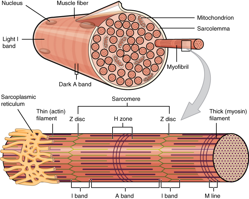 This figure shows the structure of the muscle fibers. In the top panel, a sarcolemma is shown with the major parts labeled. In the bottom panel, a magnified view of a single myofibril is shown and the major parts are labeled.