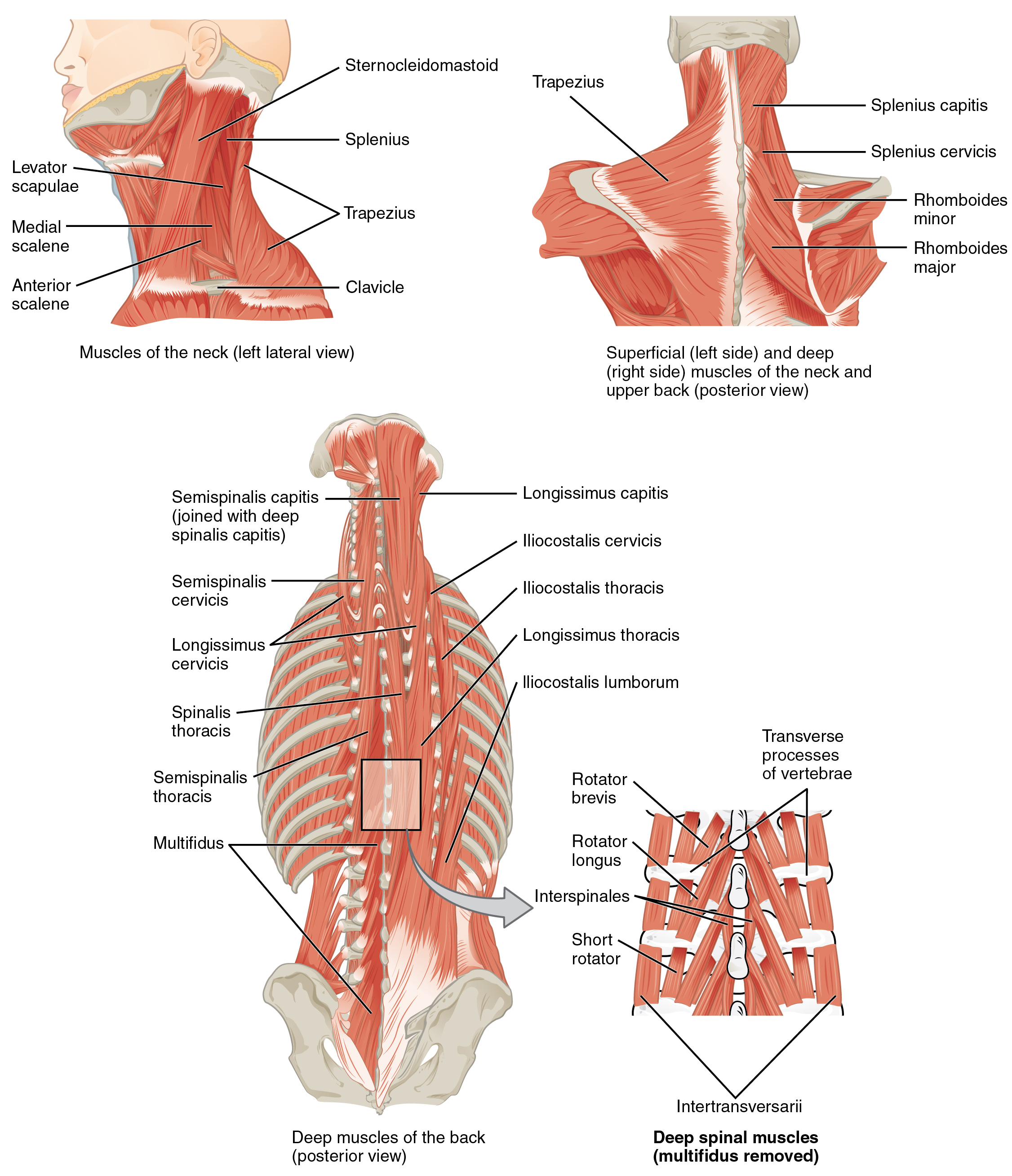 The top left panel shows a lateral view of the muscles of the neck, and the bottom left panel shows the posterior view of the superficial and deep muscles of the neck. The center panel shows the deep muscles of the back, and the right panel shows the deep spinal muscles.