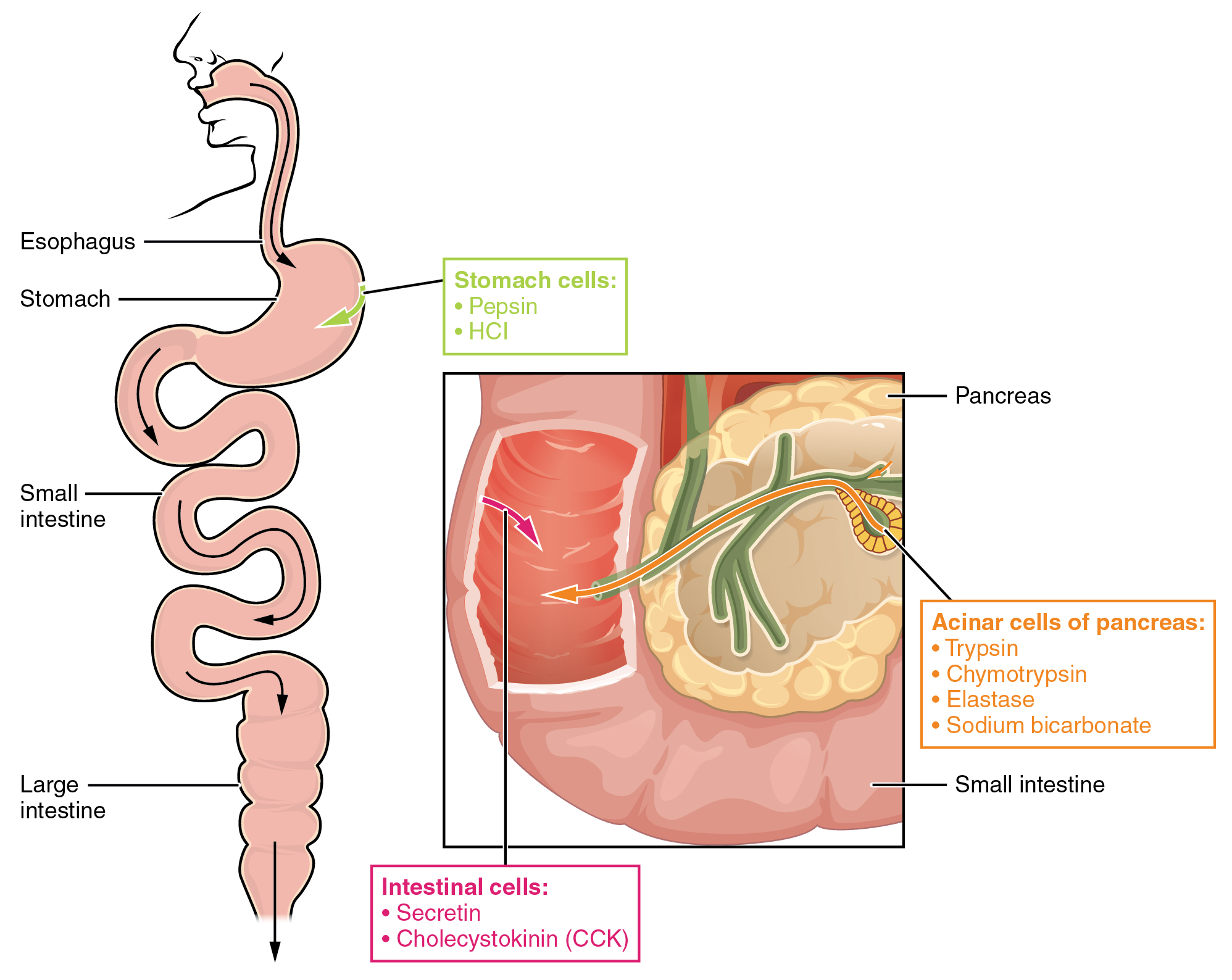 The left panel shows the main organs of the digestive system, and the right panel shows a magnified view of the intestine. Text callouts indicate the different protein digesting enzymes produced in different organs.