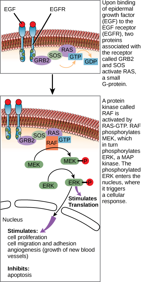 This illustration shows the epidermal growth factor receptor, which is embedded in the plasma membrane. Upon binding of a signaling molecule to the receptor's extracellular domain, the receptor dimerizes, and intracellular residues are phosphorylated. Phosphorylation of the receptor triggers the phosphorylation of a protein called MEK by RAF. MEK, in turn, phosphorylates ERK. ERK stimulates protein translation in the cytoplasm, and transcription in the nucleus. Activation of ERK stimulates cell proliferation, cell migration and adhesion, and angiogenesis (growth of new blood vessels). ERK inhibits apoptosis.