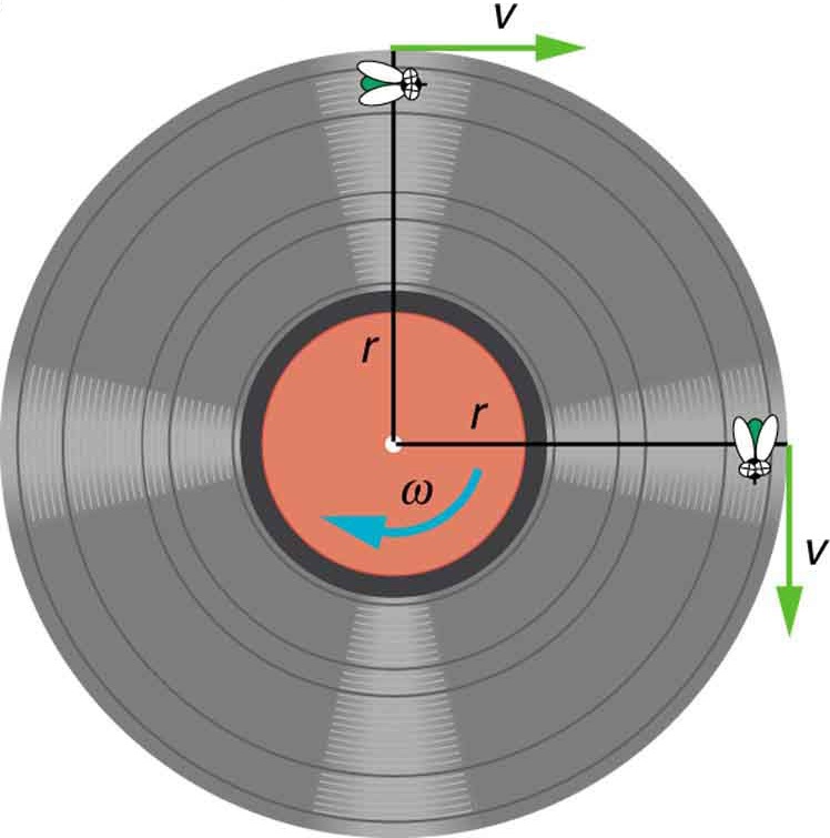 The given figure shows the top view of an old fashioned vinyl record. Two perpendicular line segments are drawn through the center of the circular record, one vertically upward and one horizontal to the right side. Two flies are shown at the end points of the vertical lines near the borders of the record. Two arrows are also drawn perpendicularly rightward through the end points of these vertical lines depicting linear velocities. A curved arrow is also drawn at the center circular part of the record which shows the angular velocity.