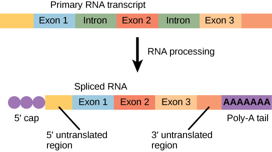 Illustration shows a primary RNA transcript with three exons and two introns. In the spliced transcript, the introns are removed and the exons are fused together. A 5' cap and poly-A tail have also been added.