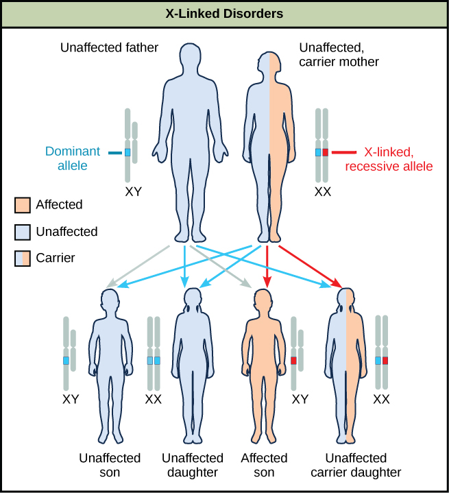 A diagram shows an unaffected father with a dominant allele and an unaffected carrier mother with an x-linked recessive allele. Four figures of offspring are shown representing the various resulting genetic combinations: unaffected son, unaffected daughter, affected son, and unaffected carrier daughter.