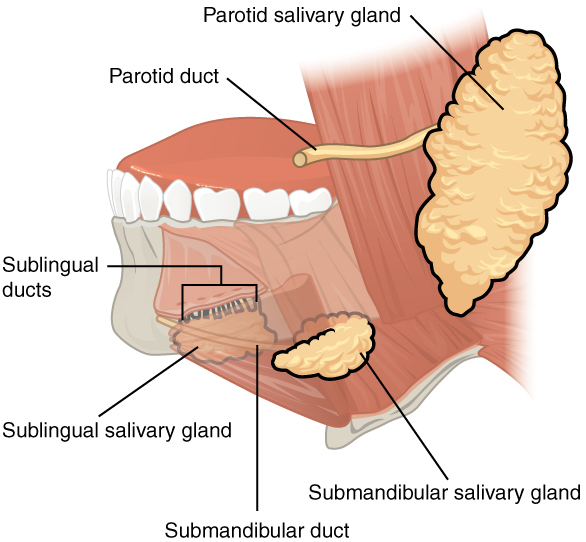 This image shows the location of the salivary glands with reference to the teeth. The different salivary glands are labeled.