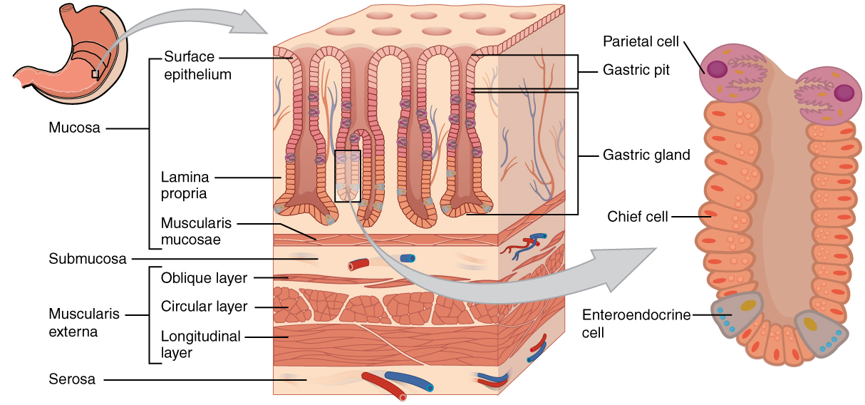 This diagram shows the histological cross-section of the stomach. The left panel shows the stomach and the center panel shows a magnified view of a small region including the epithelium and the gastric glands. The right panel shows a further magnification of the mucosa and the different cell types are labeled.