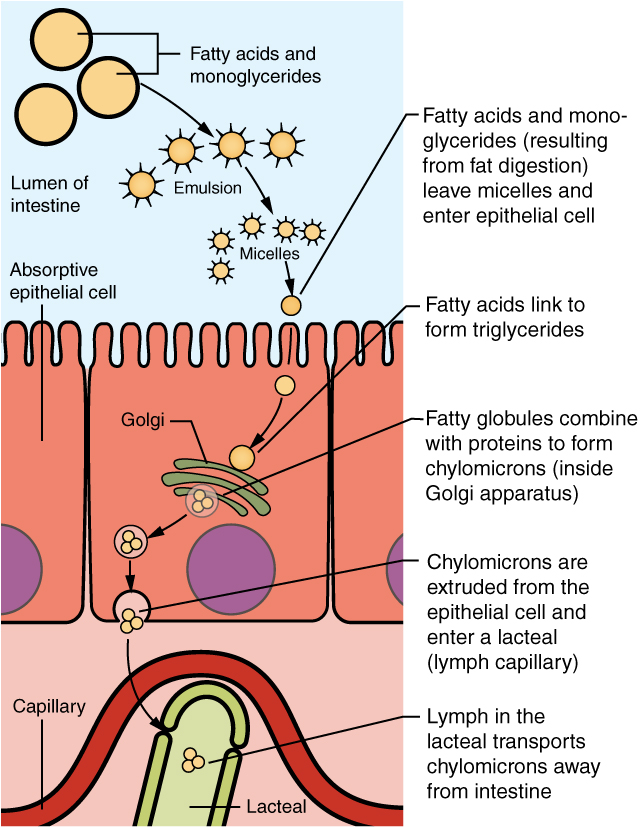 This diagram shows how lipids are absorbed from the lumen of the intestine into the lacteals. The fatty acid micelles are shown to enter the epithelial cell and form chylomicrons inside the Golgi apparatus. Then, the chylomicrons are extruded from the epithelial cell and are taken up by the lacteals.