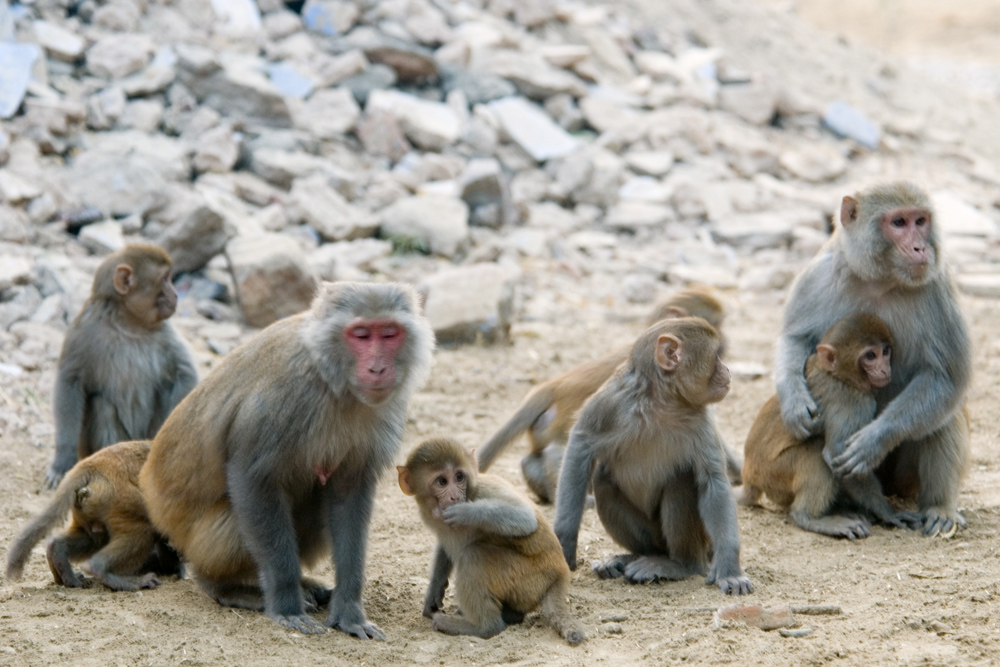 A family group of rhesus monkeys, two adults and several juveniles, are shown sitting and grooming each other on rocky ground.