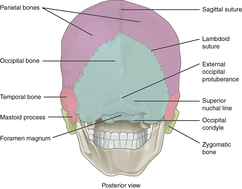 This figure shows the posterior view of the skull and the major parts are labeled.