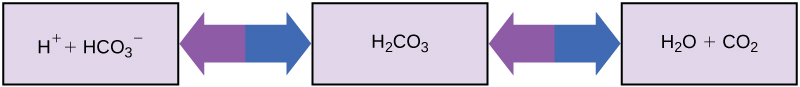 An H2O molecule can combine with a CO2 molecule to form H2CO3, or carbonic acid. A proton may dissociate from H2CO3, forming bicarbonate, or HCO3-, in the process. The reaction is reversible so that if acid is added protons combined with bicarbonate to form carbonic acid.