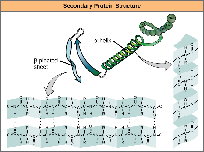 The illustration shows an alpha helix protein structure, which coils like a spring, and a beta-pleated sheet structure, which forms flat sheets stacked together. In an alpha-helix, hydrogen bonding occurs between the carbonyl group of one amino acid and the amino group of the amino acid that occurs four residues later. In a beta-pleated sheet, hydrogen bonding occurs between two different lengths of peptide that are antiparallel to one another.