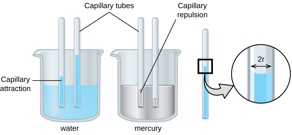 "An image of two beakers and a tube is shown. The first beaker, drawn on the left and labeled ""Water,"" is drawn half-full of a blue liquid. Two tubes are placed vertically in the beaker and inserted into the liquid. The liquid is shown higher in the tubes than in the beaker and is labeled ""Capillary attraction."" The second beaker, drawn in the middle and labeled ""Mercury,"" is drawn half-full of a gray liquid. Two tubes are placed vertically in the beaker and inserted into the liquid. The liquid is shown lower in the tubes than in the beaker and is labeled ""Capillary repulsion."" Lines point to the vertical tubes and label them ""Capillary tubes."" A separate drawing of one of the vertical tubes from the first beaker is shown on the right. A right-facing arrow leads from the liquid in the tube to a square call-out box that shows a close-up view of the liquid's surface. The distance across the tube is labeled ""2 r"" in this image."