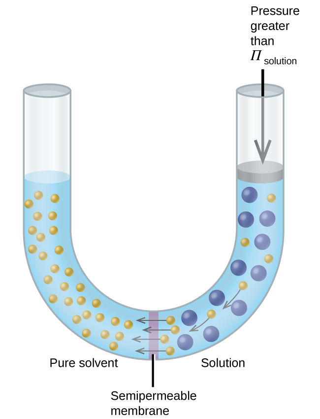 "The figure shows a U shaped tube with a semi permeable membrane placed at the base of the U. Pure solvent is present and indicated by small yellow spheres to the left of the membrane. To the right, a solution exists with larger blue spheres intermingled with some small yellow spheres. At the membrane, arrows point from four small yellow spheres to the left of the membrane. On the right side of the U, there is a disk that is the same width of the tube and appears to block it. The disk is at the same level as the solution. An arrow points down from the top of the tube to the disk and is labeled, ""Pressure greater than Π subscript solution."""
