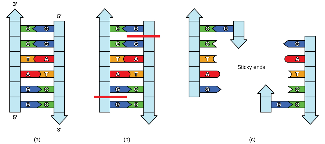 In part A, the figure shows a strand of ladder-like DNA. In part B, the DNA is cut on both strands between the two guanines. In part C, the 2 strands have separated, leaving complementary sticky ends on each with unattached 5' to 3' G, A, T, and C nucleotides.