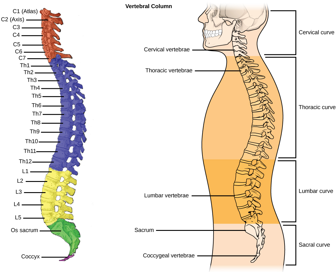 Illustration A shows all the vertebrae in a vertebral column. Illustration B shows that different sections of vertebrae curve in different directions. The cervical vertebrae in the neck curve toward the front of the body. The thoracic vertebrae, which extend from the neck to the bottom of the rib cage, curve toward the back of the body. The lumbar vertebrae, which extend to the bottom of the back, curve toward the front again. The sacrum and the coccygeal vertebrae make up the sacral curve that curves toward the back.