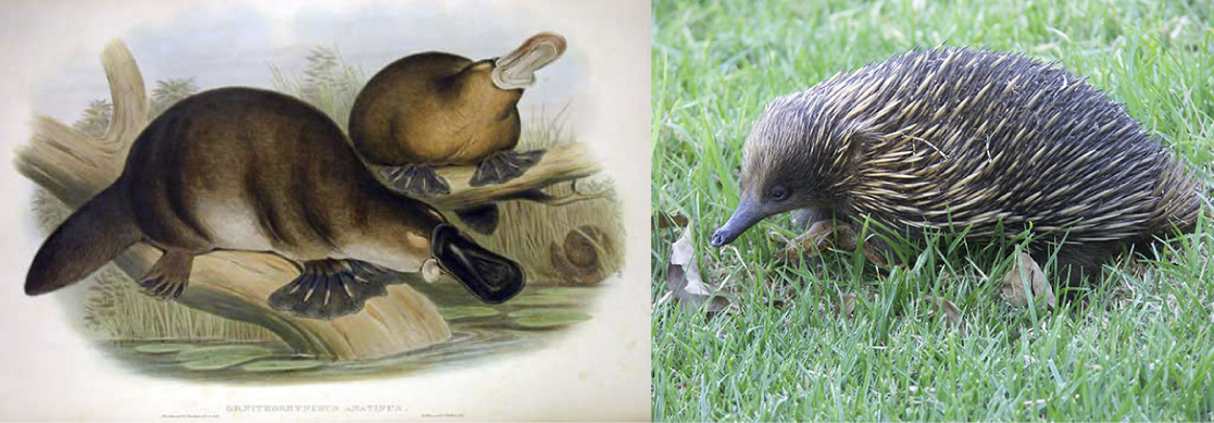 The illustration on the left shows two short-haired platypus with webbed feet, flat tails, and a flat snout. The photo on the right shows an echidna with a long fleshy snout and a body covered in coarse hair and spines.