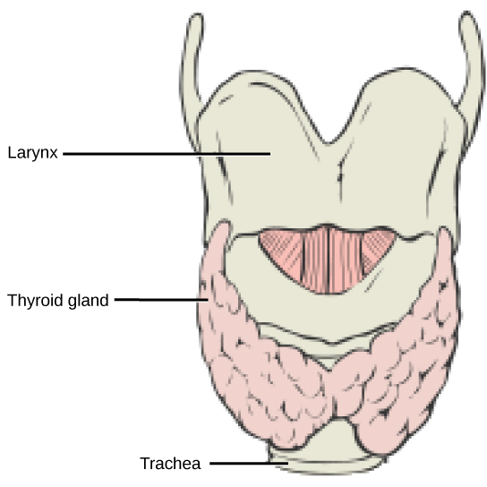 The thyroid is located in the neck beneath the larynx and in front of the trachea. It consists of right and left lobes and a narrow central region called the isthmus of thyroid. Above the isthmus of thyroid is the pyramidal lobe.