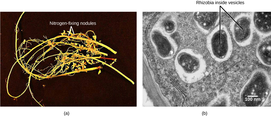 Part A is a photo of legume roots, which are long and thin with hair-like appendages. Nodules are bulbous protrusions extending from the root. Part B is a transmission electron micrograph of a nodule cell cross section. Black oval-shaped vesicles containing rhizobia are visible. The vesicles are surrounded by a white layer and are scattered unevenly throughout the cell, which is gray.