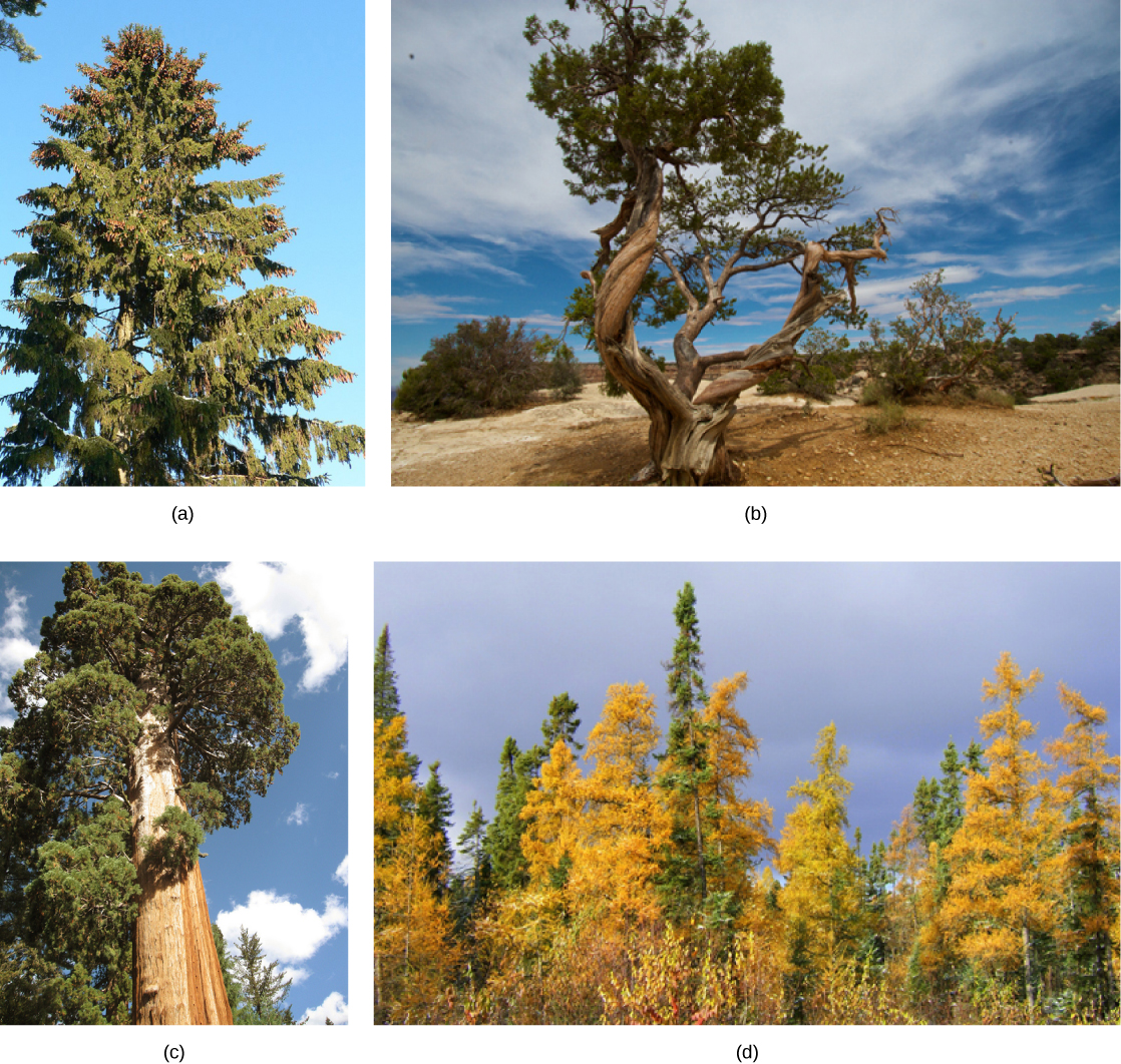 Photo A shows a juniper tree with a gnarled trunk. Photo B shows a sequoia with a tall, broad trunk and branches starting high up the trunk. Photo C shows a forest of tamarack with yellow needles.. Photo D shows a tall spruce tree covered in pine cones. Photo B. Photo C Part D