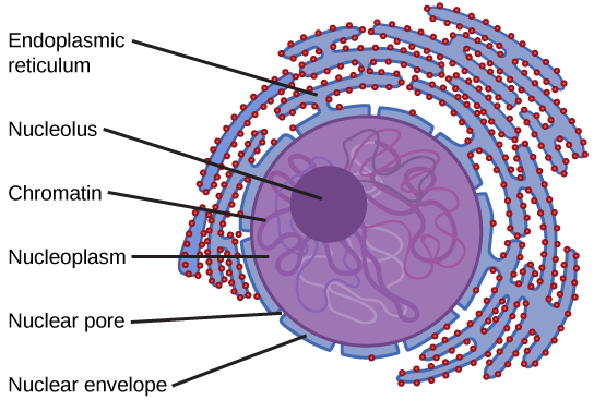 In this illustration, chromatin floats in the nucleoplasm. The nucleoid is depicted as a dense, circular region inside the nucleus. The double nuclear membrane is perforated with protein-lined pores