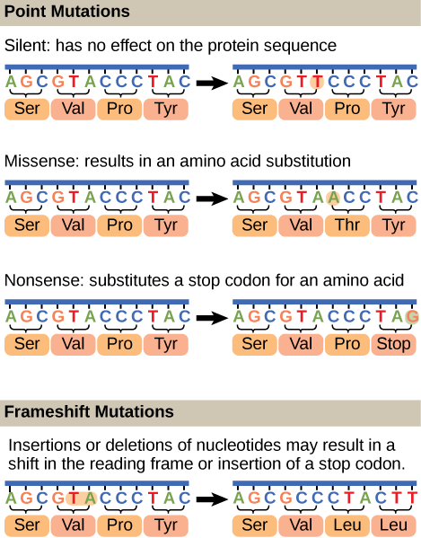 Illustration shows different types of point mutations that result from a single amino acid substitution. In a silent mutation, no change in the amino acid sequence occurs. In a missense mutation, one amino acid is substituted for another. In a nonsense mutation, a stop codon is substituted for an amino acid. In a frameshift mutation, one or more bases is added or deleted, resulting in a change in the reading frame.