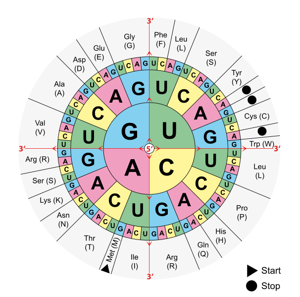 This version of the genetic code is displayed as four concentric circles. The inner most circle contains the first letter at the five prime end of the codon. The second ring contains the four possibilities for the second letter for each of the inner circle letters. The third ring contains the four possibilities for each of the letters in the second ring. The fourth ring contains the specific amino acid each triplet combination codes for each combination.