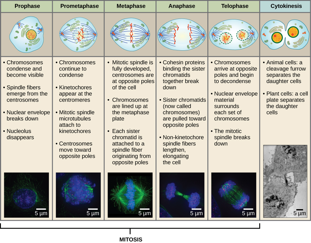 This diagram shows the five phases of mitosis, and cytokinesis. During prophase, the chromosomes condense and become visible, spindle fibers emerge from the centrosomes, the centrosomes move toward opposite poles, and the nuclear envelope breaks down. During prometaphase, the chromosomes continue to condense and kinetochores appear at the centromeres. Mitotic spindle microtubules attach to the kinetochores. During metaphase, the centrosomes are at opposite poles of the cell. Chromosomes line up at the metaphase plate and each sister chromatid is attached to spindle fibers originating from the opposite poles. During anaphase, the centromeres split in two. The sister chromatids, which are now called chromosomes, move toward opposite poles of the cell. Certain spindle fibers lengthen, elongating the cell. During telophase, the chromosomes arrive at the opposite poles and begin to decondense. The nuclear envelope re-forms. During cytokinesis in animals, a cleavage furrow separates the two daughter cells. In plants, a cell plate—the precursor to a new cell wall—separates the two daughter cells.