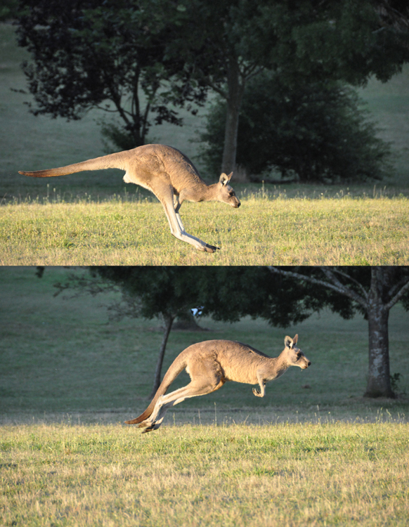 A hopping kangaroo is shown landing on the ground in one photograph and in the air just after taking another jump in the second photograph.