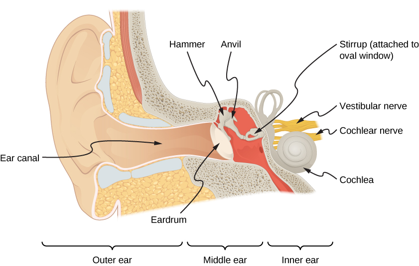 Picture is a drawing of an ear. It shows the ear canal finishing with the eardrum. Hammer connected to the anvil is in the in the contact with the eardrum. Behind the eardrum is the hammer and the anvil. The anvil is connected to the stirrup which is attached to the oval window. Cochlea, cochlear nerve and vestibular nerve are in contact with the stirrup.