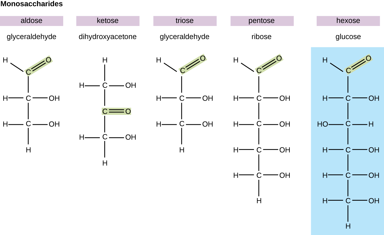 Diagrams of various monosaccharides. Glyceraldehyde is an aldose because it has a double bonded O attached to an end carbon. Dihydroxyacetone is a ketose because it has a double bonded O attached in the center of the chain. Glyceraldehyde is a triose because it has 3 carbons. Ribose is a pentose because it has 5 carbons. Glucose is a hexose because it has 6 carbons.