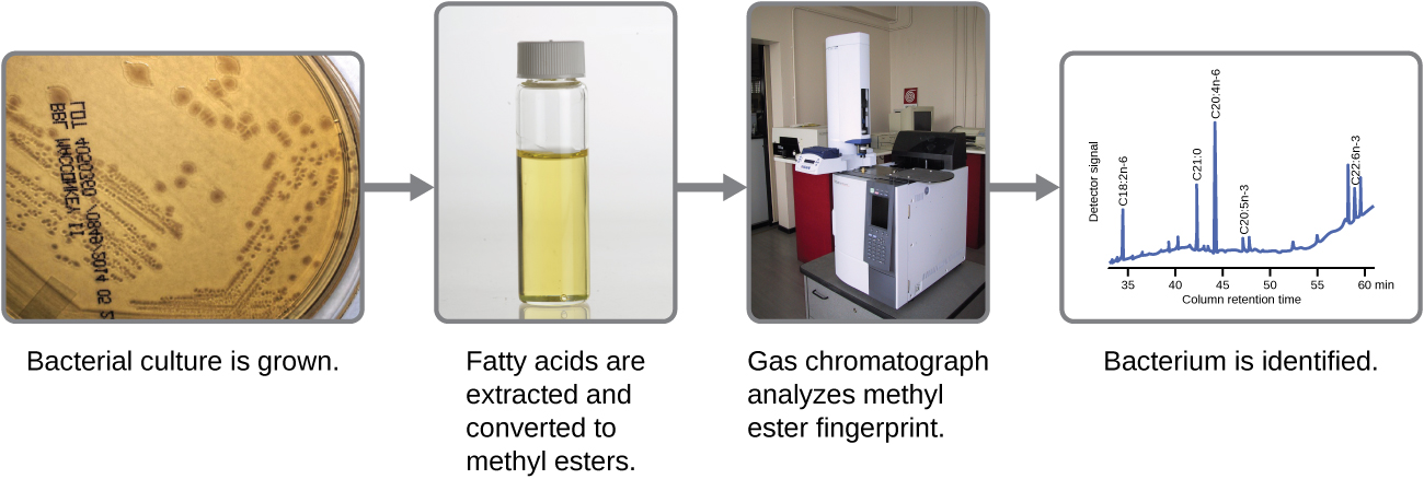 A flowchart. A bacterial culture is grown (image is of an agar plate). Then fatty acids are extracted and converted to methyl esters (image is of a test tube). Then gas chromatography analyzes methyl ester fingerprints (image is of a chromatography machine). Then bacteria are identified (image is of a graph). The X axis of the graph is column retention time. The Y axis is of detector signal. The line has various peaks.