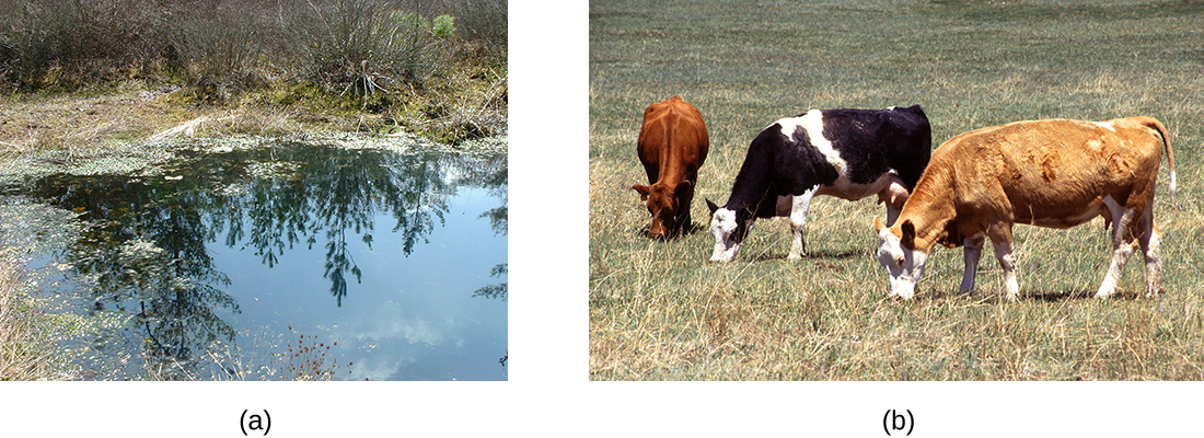 a) A photograph of a bog. B) A photograph of cows.