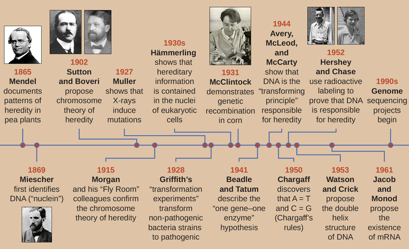 "A timeline. 1865: Mendel documents patters of heredity in pea plants. 1869L Miescher first identifies DNA (""nuclein""). 1902: Sutton and Boveri propose chromosome theory of heredity. 1915: Morgan and his ""Fly Room"" colleagues confirm the chromosome theory of heredity. 1927: Muller shows that X-rays induce mutation. 1928: Griffith's ""transformation experiments"" transform non-pathogenic bacterial strains to pathogenic. 1930's: Mammerling shows that hereditary information is contained in the nuclei of eukaryotic cells. 1930: McClintock demonstrates genetic recombination in corn. 1941: Beadle and Tatum describe the ""one gen-one enzyme"" hypothesis. 1944: Avery, McLeod, and McCarty show that DNA is the ""transforming principle"" responsible for heredity. 1950: Chargaff discovers that A=T and C=G (Chargaff's rules). 1952: Hershey and Chase use radioactive labeling to prove that DNA is responsible for heredity. 1953: Watson and Crick propose the double helix structure of DNA. 1961: Jacob and Monod propose the existence of mRNA. 1990's: Genome sequence projects begin."
