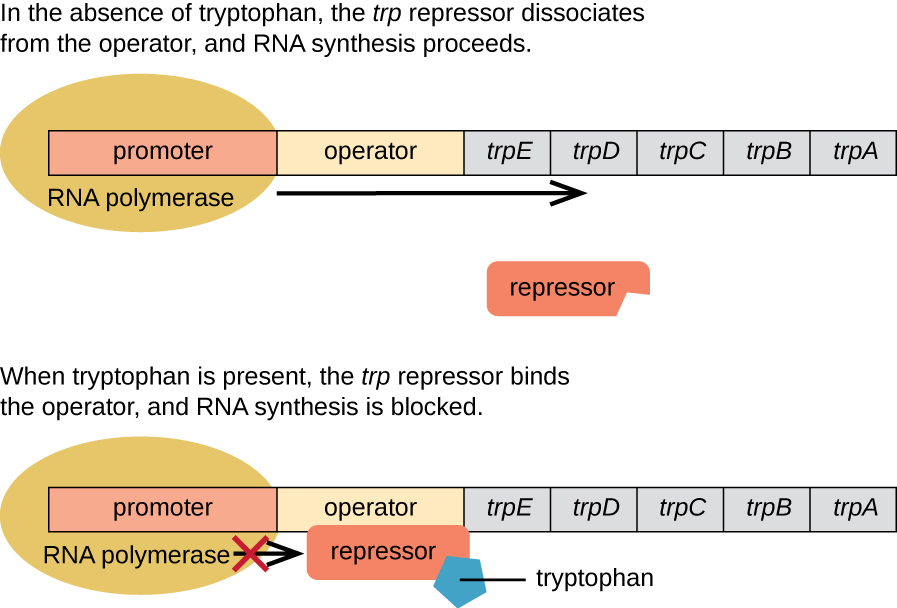 11 7 gene regulation operon theory by openstax (page 3 12